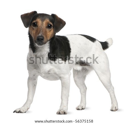 Jack Russell Terrier, 3 years old, standing in front of white background - stock photo