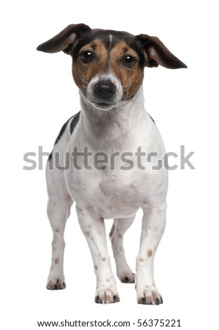 Jack Russell Terrier, 2 years old, standing in front of white background - stock photo
