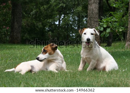 Jack Russell Terriers - stock photo