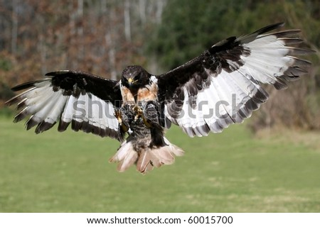 Jackal Buzzard bird of prey flying with wings outstretched - stock photo