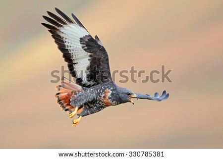 Jackal buzzard (Buteo rufofuscus) in flight with outstretched wings, South Africa  - stock photo