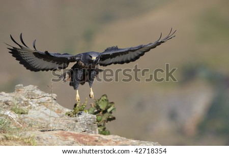 Jackal Buzzard (Buteo rufofuscus) landing on the rock in South Africa - stock photo