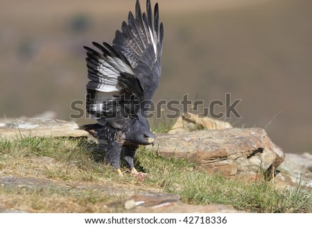 Jackal Buzzard (Buteo rufofuscus) walking on rocks in South Africa, looking alert or aggressive - stock photo