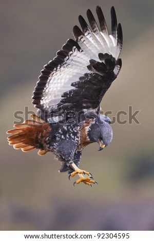 Jackal buzzard in the Drakensberg - stock photo