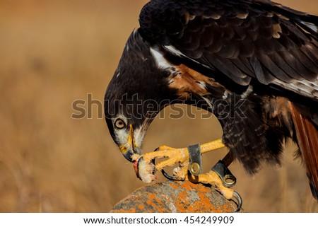 Jackal buzzard with catch - stock photo