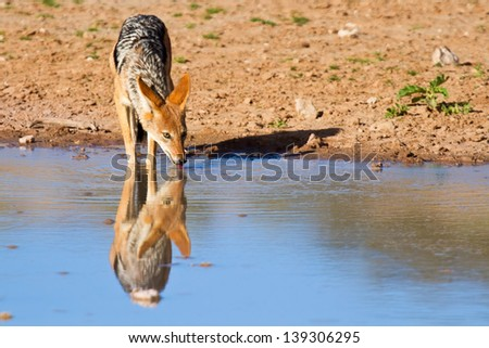 Jackal drinking water in desert with reflection - stock photo