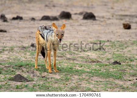 Jackal on the plains of Africa - stock photo