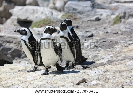 Jackass or African Penguin (Spheniscus demersus). South Africa - stock photo