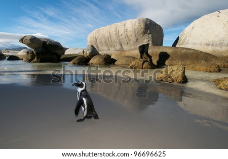 Jackass Penguin Cape Town - stock photo