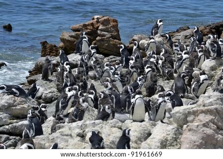 Jackass Penguins , Demersus Spheniscus  in South Africa - stock photo