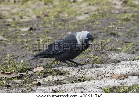 Jackdaw bird, Corvus monedula, on ground portrait, selective focus, shallow DOF.