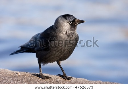 jackdaw, black bird - stock photo