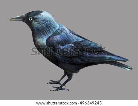 Jackdaw drawing on Gray background