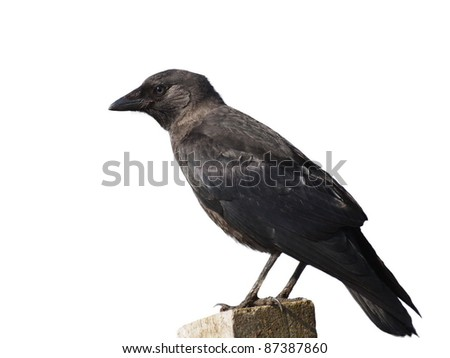 Jackdaw isolated on white background, Corvus monedula