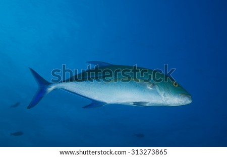 JACKFISH SWIMMING IN CLEAR BLUE WATER