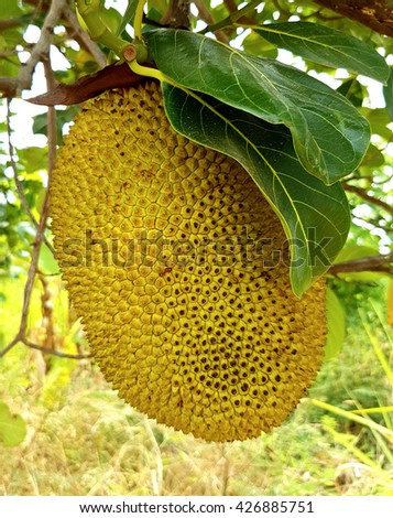 Jackfruit on the tree, Jackfruit, native to Asia and largely grown and appreciated in thailand - stock photo