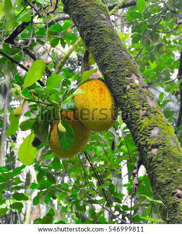 jackfruit tree with two jackfruits in Hawaii