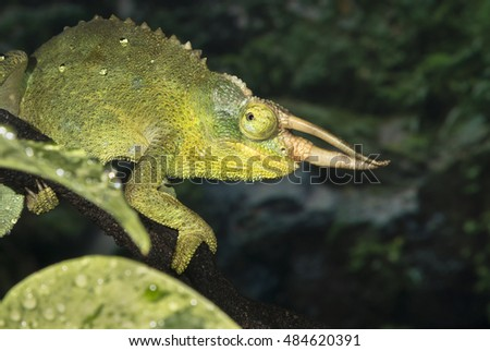 Jackson's horned chameleon (Trioceros jacksonii), captive (native to Eastern Africa), Moody Gardens, Galveston, Texas, USA