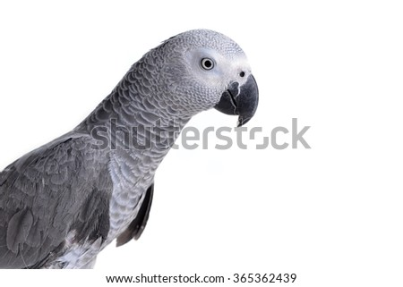 Jaco or african gray parrot in home - stock photo