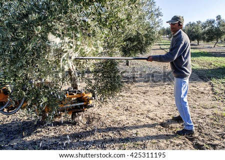 Jaen, Spain - January 2008, 23: Farmer hitting tree with a stick during the collection of the campaign of olives in winter, take in Jaen, Spain