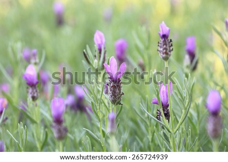 Jagged lavenders,Fern leaf lavenders,closeup image of violet lavender flowers blooming in the field in spring - stock photo