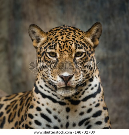 Jaguar - stock photo