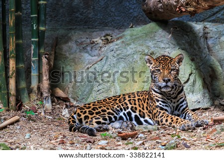 Jaguar and leopard - stock photo