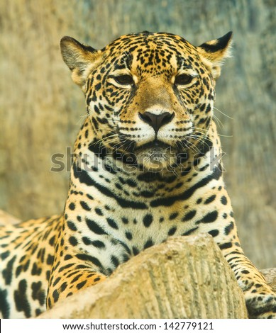 Jaguar and lived in Central America and South America - stock photo