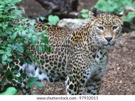 Jaguar behind shrub - stock photo