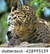 Jaguar cub is a big cat, a feline in the Panthera genus only extant Panthera species native to the Americas. Jaguar is the 3 largest feline after the tiger and lion, and the largest in the Americas.  - stock photo