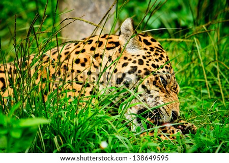 Jaguar Eating Meat Jaguar Eating Meat Stock