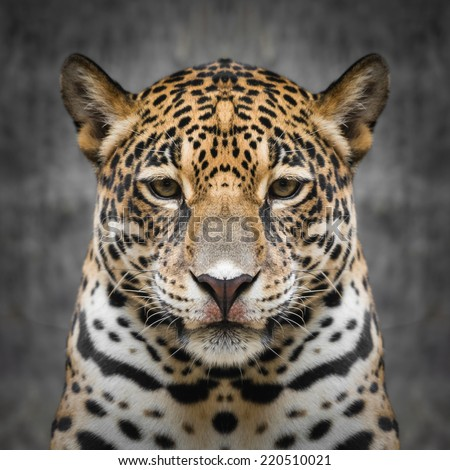 Jaguar face close up - stock photo