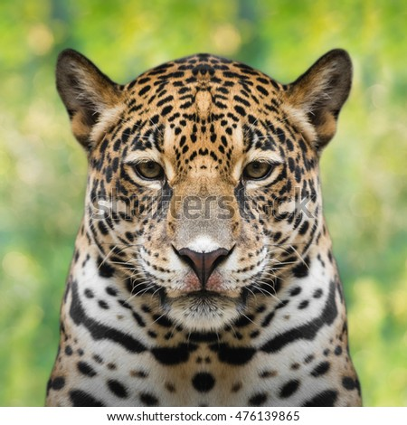 Jaguar face close up