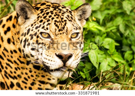 Jaguar Headshot From Close Range - stock photo