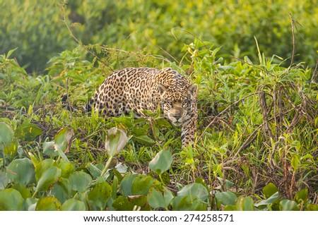Jaguar Hunting - Pantanal - Brazil - stock photo