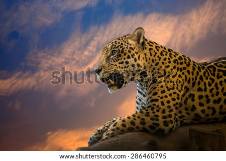 Jaguar in the evening atmosphere. - stock photo