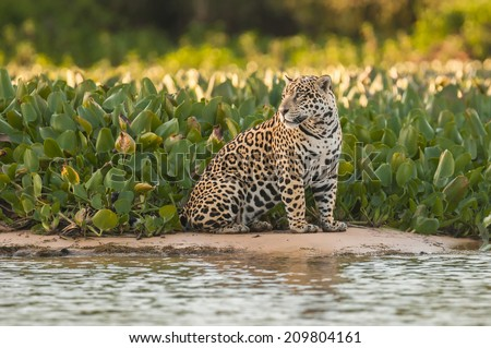 Jaguar in the jungle - Pantanal - Brazil - stock photo