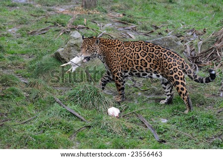 Jaguar just about to eat a chicken