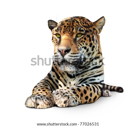 Jaguar, lying animal front view, isolated on white, shadow - stock photo