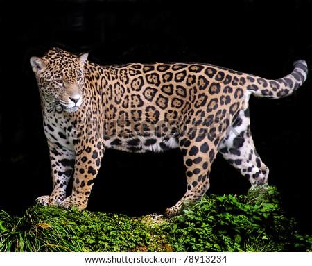 Black Jaguar Background Jaguar on a Black Background