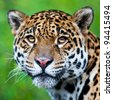 Jaguar - Panthera onca - stock photo