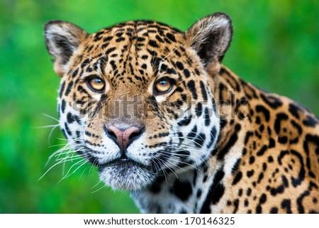Jaguar - Panthera onca - stock photo