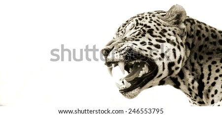 Jaguar (Panthera onca) at a Big Cat Sanctuary in South Africa - stock photo