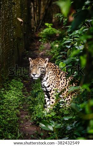 jaguar, Panthera onca, sitting  basking in sun facing photographer - stock photo