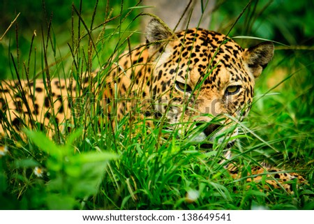 Jaguar - Panthera onca, staring at the camera resting on the grass - stock photo