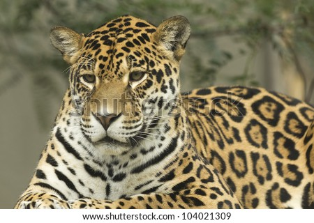 Jaguar portrait lying on a tree trunk