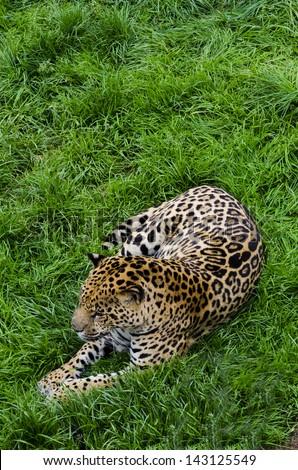 Jaguar resting in Cabarceno natural parck, Spain - stock photo