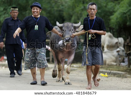 JAKARTA, INDONESIA - 12 SEPTEMBER 2016: Indonesian Muslims pull a buffalo to a  slaughter centre at a mosque during Eid Al-Adha, the feast of sacrifices in Jakarta, Indonesia on 12 September, 2016.