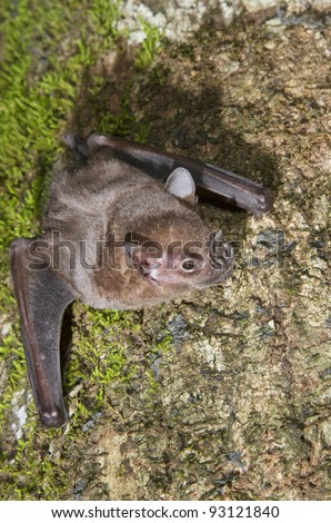 Jamaican, common or Mexican fruit bat (Artibeus jamaicensis) on a tree, Puerto Viejo, Costa Rica. - stock photo