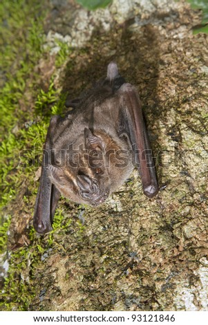 Jamaican, common or Mexican fruit bat (Artibeus jamaicensis) on a tree (Puerto Viejo, Costa Rica). - stock photo